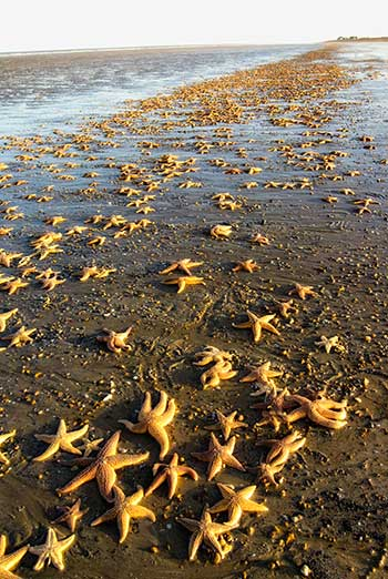 Mass Starfish Stranding